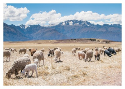 Photo of sheeps with mountains in the background–mypostcard
